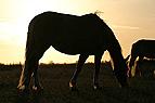 Pferd grast im Gegenlicht