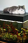Katze liegt auf Aquarium