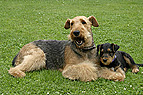 Airedale-Terrier mit We..