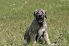 Irischer Wolfshund Welpe