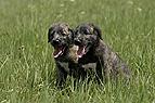Irische Wolfshund Welpen