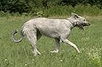 Irischer Wolfshund rennt