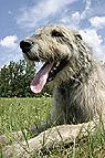 Irischer Wolfshund im So..