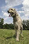 Irischer Wolfshund groß