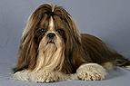 Shih Tzu - Hund mit Schl..