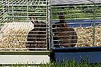 Kaninchen in zwei Käfig..