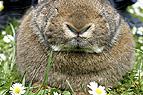 Kaninchennase