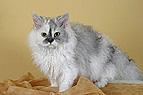 Selkirk Rex Katze