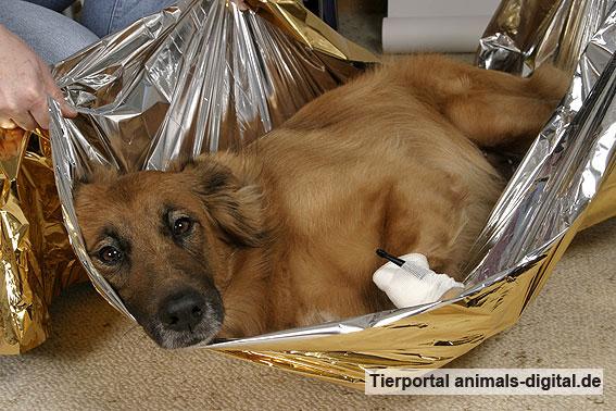 verletzter hund wird mit rettungsdecke transportiert bilder fotos bild a d2004 0189. Black Bedroom Furniture Sets. Home Design Ideas
