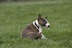 Miniatur Bullterrier Wel..