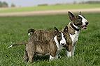 Miniatur Bullterrier mit..