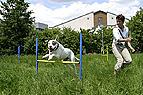 Hund springt über Hürd..