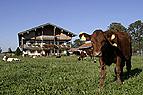 Kühe vor Bauernhof