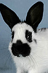 Junges Kaninchen