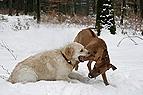 Hunde raufen im Schnee