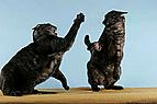Fauchende Katzen