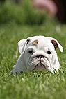Englische Bulldogge