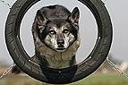 Hund springt durch Reife..