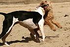 Raufende Hunde