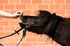 Flehmendes Pony