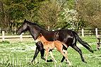 Quater horse Stute und F..