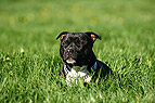 American Staffordshire T..
