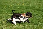 Hunde spielen mit Stöck..