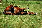 Wälzendes Pferd
