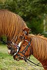Schmusende Ponys