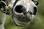 Lachendes Pony