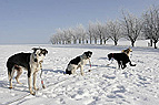 Schlittenhunde warten au..