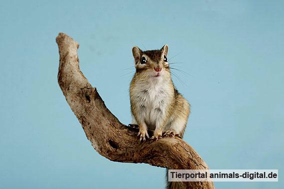 Streifenhörnchen - a-d2006_0080