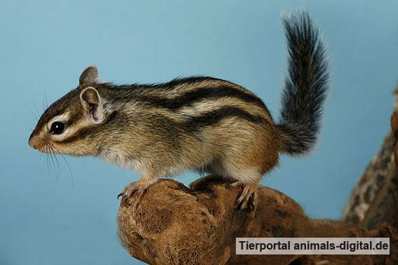 Streifenhörnchen - a-d2006_0081