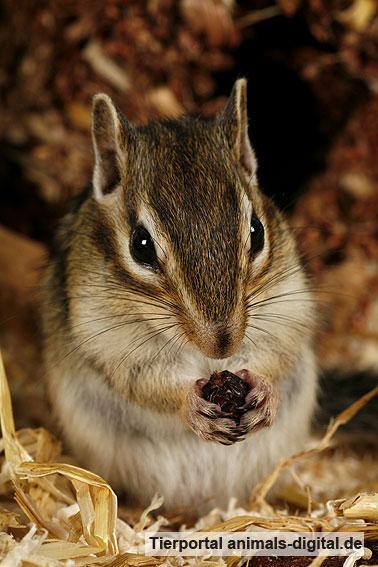 Streifenhörnchen beim Fressen - a-d2006_0086