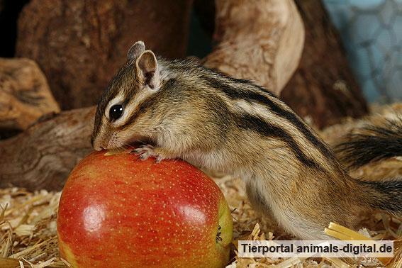 Streifenhörnchen knabbert an einem Apfel - a-d2006_0090