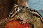 Streifenhörnchen knabbe..
