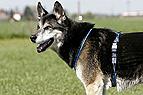 Hund mit Brustgeschirr