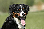 Berner Sennenhund Portra..