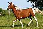 Trabendes Pferd