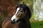 Pony mit Gras im Maul