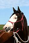 Paint horse mit Knotenha..