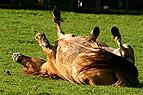 Pony wälzt sich