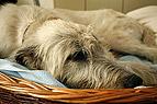 Irischer Wolfshund