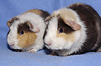 Zwei Meerschweinchenbabys