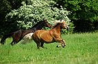 Pferde galoppieren über..