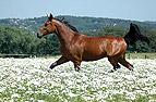 Pferd trabt über Blumen..
