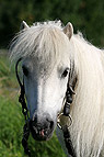 Mini-Shetland-Pony