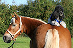 Pudel sitzt auf Pferd