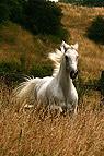 Galoppierendes Pferd