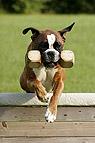 Boxer mit Dummy